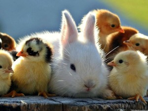 Cute-Chicks-And-White-Rabbit-Images